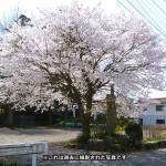 sakura_hama