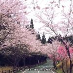 sakura_koyasugawara
