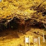03乳の木