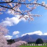 sakura_seisyounen